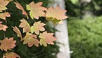 Fall vine maple