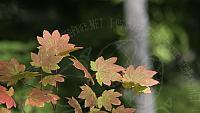 Fall vine maple (augmented 3)