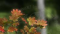 Fall vine maple (augmented 2)
