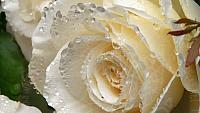 Dewy white rose