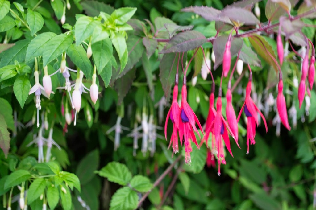 WildFuschia-1